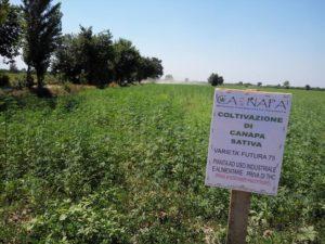Nei campi confiscati alla camorra oggi cresce la canapa