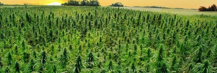 Cannabis light: un giro da 44 milioni l'anno e 1000 posti di lavoro