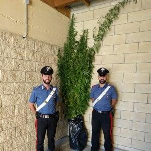 """""""Sequestrate 136 piante di cannabis"""", ma per i familiari è canapa industriale"""
