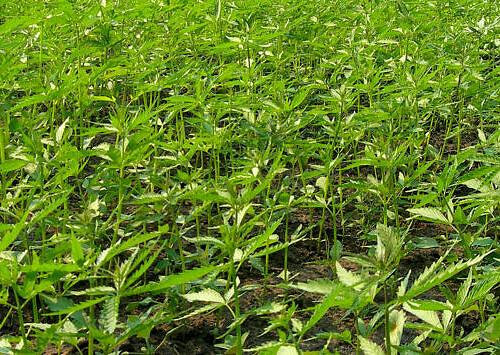 Canapa per biomassa: la sperimentazione all'azienda agricola Canapafarming