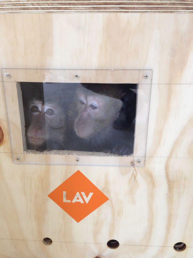 """Padova, 27 macachi liberati dal laboratorio di vivisezione. """"Non erano più impiegati in progetti di ricerca"""""""