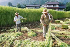 Cina: il gigante che punta ad un mercato della canapa di 15 miliardi di dollari