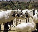 Giordania,  l'allevamento dei piccoli ruminanti per ridurre la povertà nelle comunità rurali