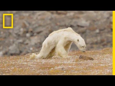 Orsi polari e sacchetti biodegradabili: la comunicazione che non c'era e che non c'è
