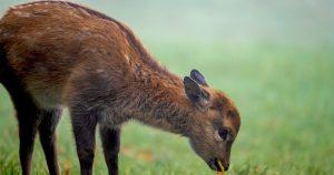Attenzione: non toccate i piccoli di cervo e capriolo. La madre potrebbe abbandonarli